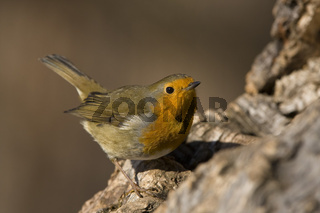 Rotkehlchen, Erithacus rubecula, European Robin