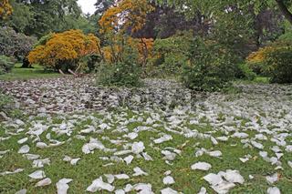 Blütenblätter eines Taschentuchbaumes