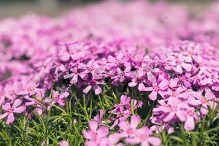 Pink tender phlox. Beautiful summer background