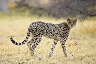 Gepard (Acinonyx jubatus) am fruehen Morgen, Nxai Pan, Makgadikgadi Pans National Park, Botswana, Afrika, Cheetah at morning light, Africa