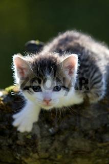 Kaetzchen auf Ast im Gegenlicht, kitten on branch in the back-light