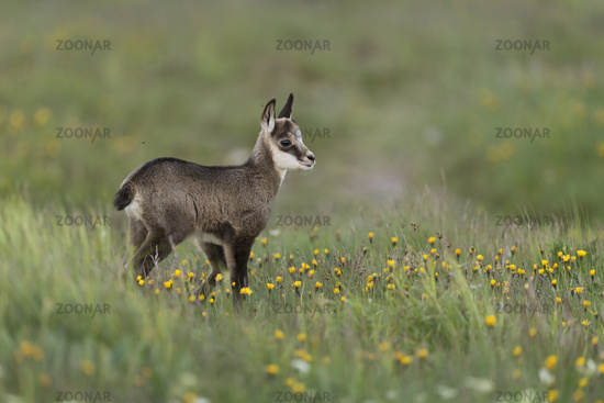 young baby chamois in a flowering alpine meadow... Alpine Chamois *Rupicapra rupicapra*