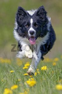 Border Collie rennt auf eiener Lšwenzahnwiese, Deutschland, Europa