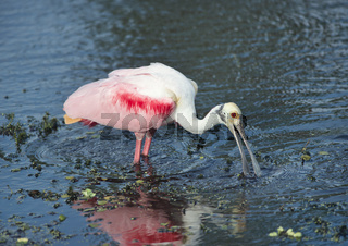 Roseate Spoonbill in a lake