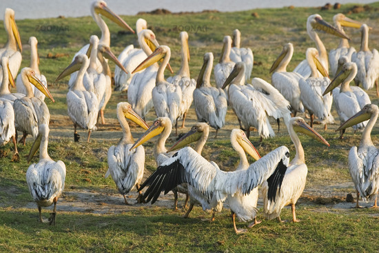 White Pelicans or Eastern White Pelicans or Great White Pelicans, Chobe River, Africa