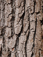 Bark of willow, close-up