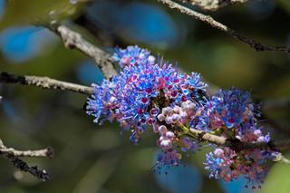 Delek air tree, Ironwood tree, Memecylon umbellatum