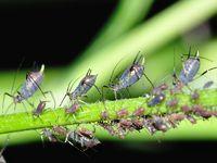 plant lice 1