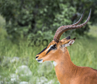 Black-faced impala in Etosha national park, Namibia