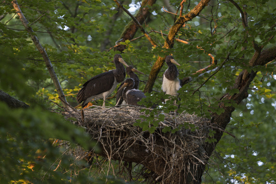nest hidden in a treetop of a beech... Black Storks *Ciconia nigra*