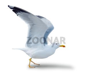 sea gull standing on his feet.