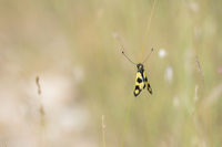 Ascalaphid Owlfly copula from Croatia, Libelloides macaronius, Oestliches Schmetterlingshaft