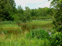 Frog pond surrounded by reed in Plothen