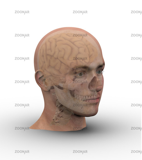 Male head with skull and brain.
