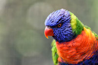 little rainbow lorikeet with colorful feathers