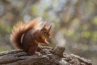 British native Red Squirrel on fallen tree on Brownsea Island