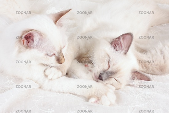 SACRED CAT OF BIRMA, BIRMAN CAT, LITTER, KITTEN, SLEEPY,
