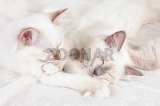 HEILIGE BIRMA KATZE, BIRMAKATZE, SACRED CAT OF BIRMA, BIRMAN CAT, LITTER, SCHLAFEND,