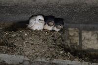 rare siblings... white Barn Swallow *Hirundo rustica*