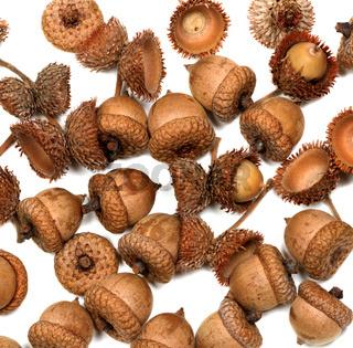 Autumn dried oak acorns