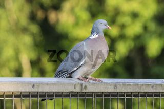 Wood Pigeon on a Fence