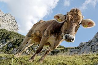 Schiefe Kuh