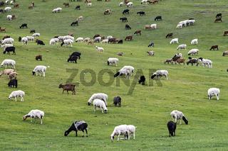 Gemischte Herde aus Schafen und Kaschmir Ziegen, Mongolei