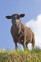 Schaf am Pfitscher Joch