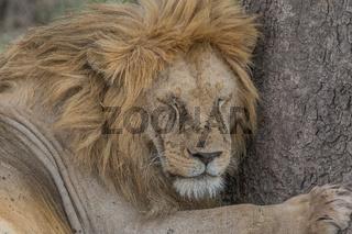 Löwe beim Mittagsschlaf, im Serengeti Nationalpark