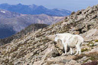 Mountain goat look in valley