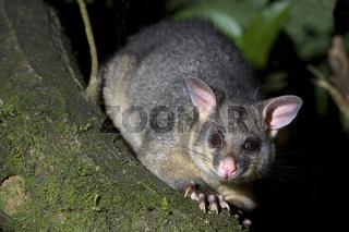 Fuchskusu, Trichosurus vulpecula, sitzt auf dem Ast eines Baumes im gemaessigten Regenwald. Der Fuchskusu ist ein nachtaktives Tier, das nach Neuseeland eingefuehrt wurde. Zusammen mit anderen eingefuehrten Raubtieren bedroht es einheimische Voegel wie z.