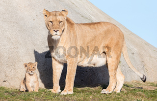 Lioness and cubs, exploring their surroundings