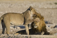Female lion covering the eyes of male lion with her paw in Etosha National Park, Namibia.