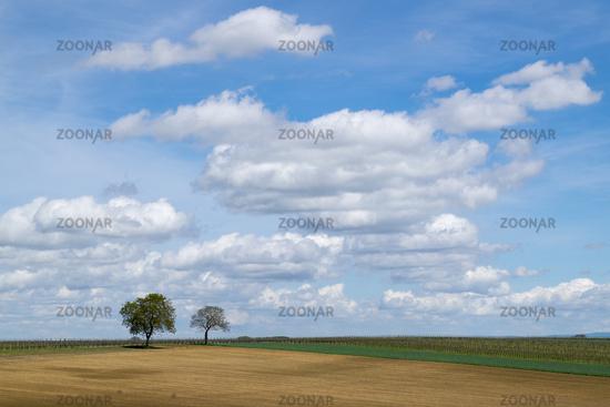 Walnut trees (Juglans regia) in front of a cloudy sky