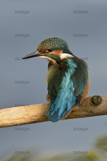 watching back... Common Kingfisher *Alcedo atthis*