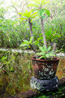 Euphorbia growing in tropical garden