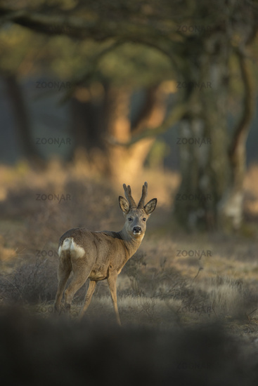 at sunrise... Roe Deer *Capreolus capreolus*