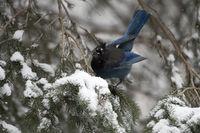 in winter... Steller's jay *Cyanocitta stelleri*