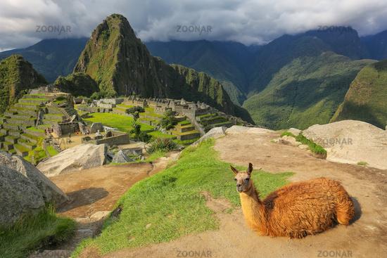 Llama resting at Machu Picchu overlook in Peru