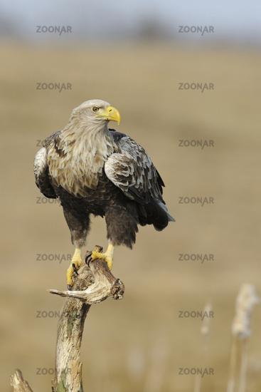 White-tailed Eagle * Haliaeetus albicilla *, wildlife