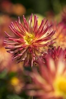 Dahlie (Dahlia sp.)