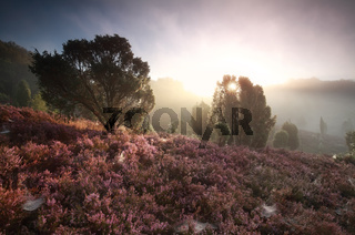 misty sunrise over hills with flowering heather