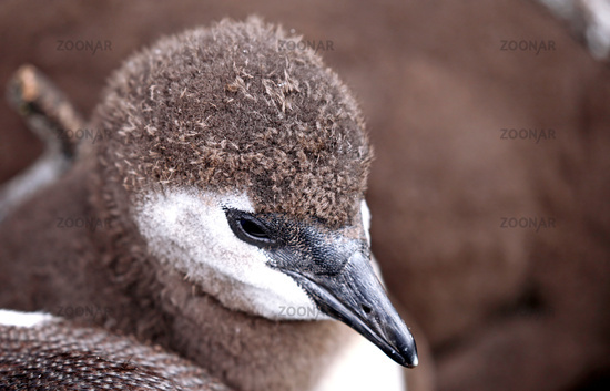 young African penguin, South Africa