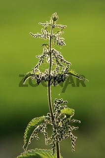 Brennnessel (Urtica), stinging nettle