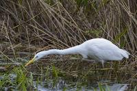 European Great White Egret hunting, Ardea alba, Silberreiher