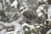 during snowfall... Grey Jay *Perisoreus canadensis*