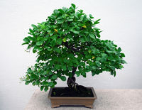 Picture of a bonsai tree with a white background