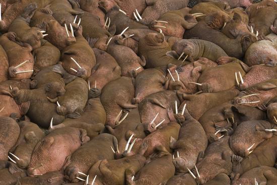 Hundreds of walruses on the beach at Round Island, Alaska.