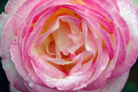 A close-up picture of a pink rose covered with water droplets