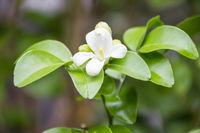 white jasmine flowers on green leaves background